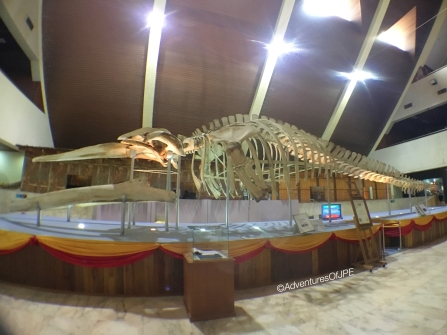 Biggest Bryde's Whale Skeleton - Malaysia Book of Records
