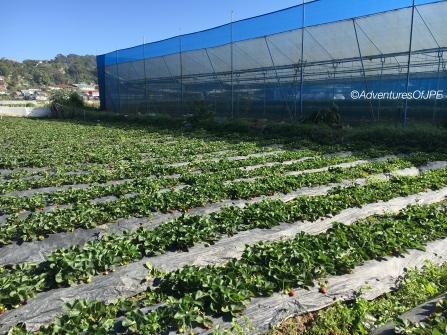 La Trinidad Strawberry Farm